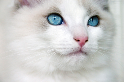 Ragdoll_kitten_blue_eyes